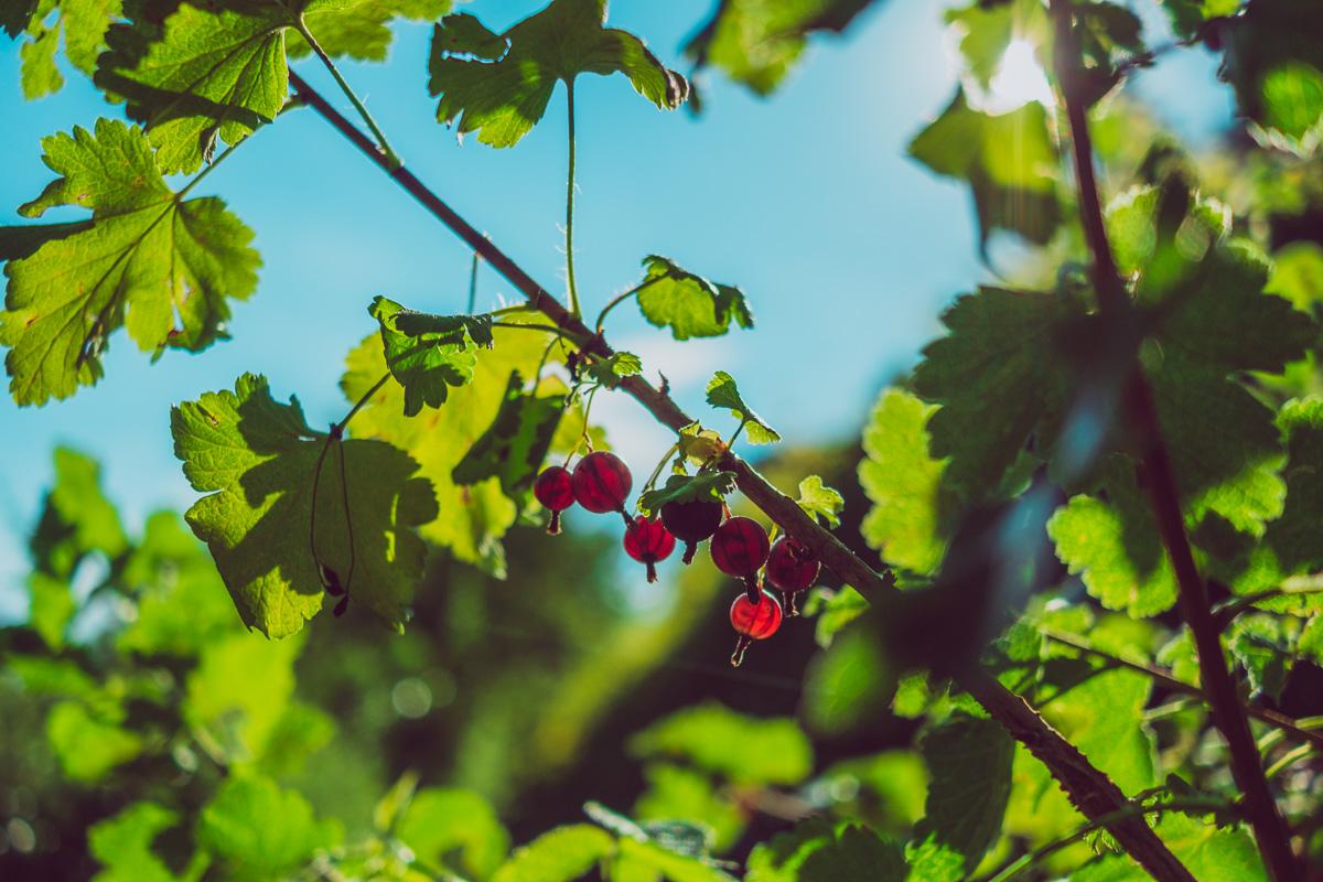 von der Sonne angeschienene Früchte