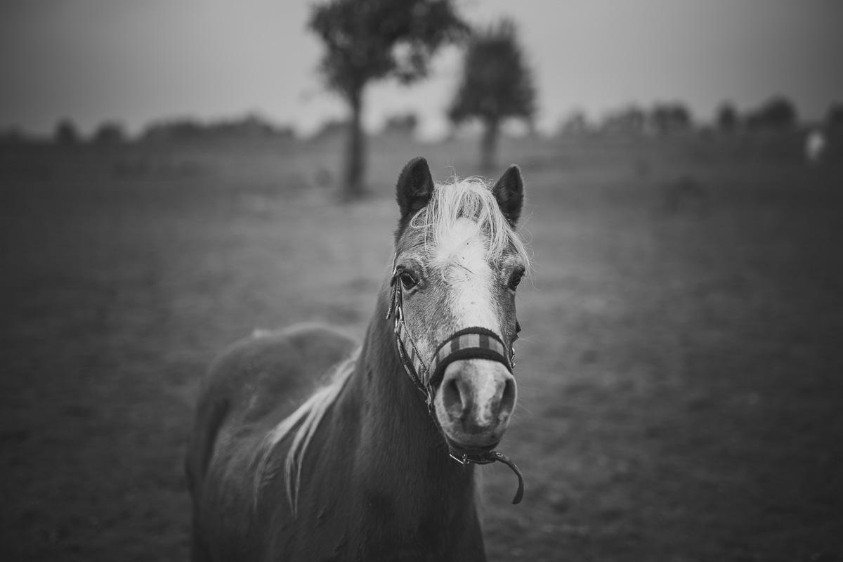 Pferd steht auf einer Koppel und schaut in die Kamera