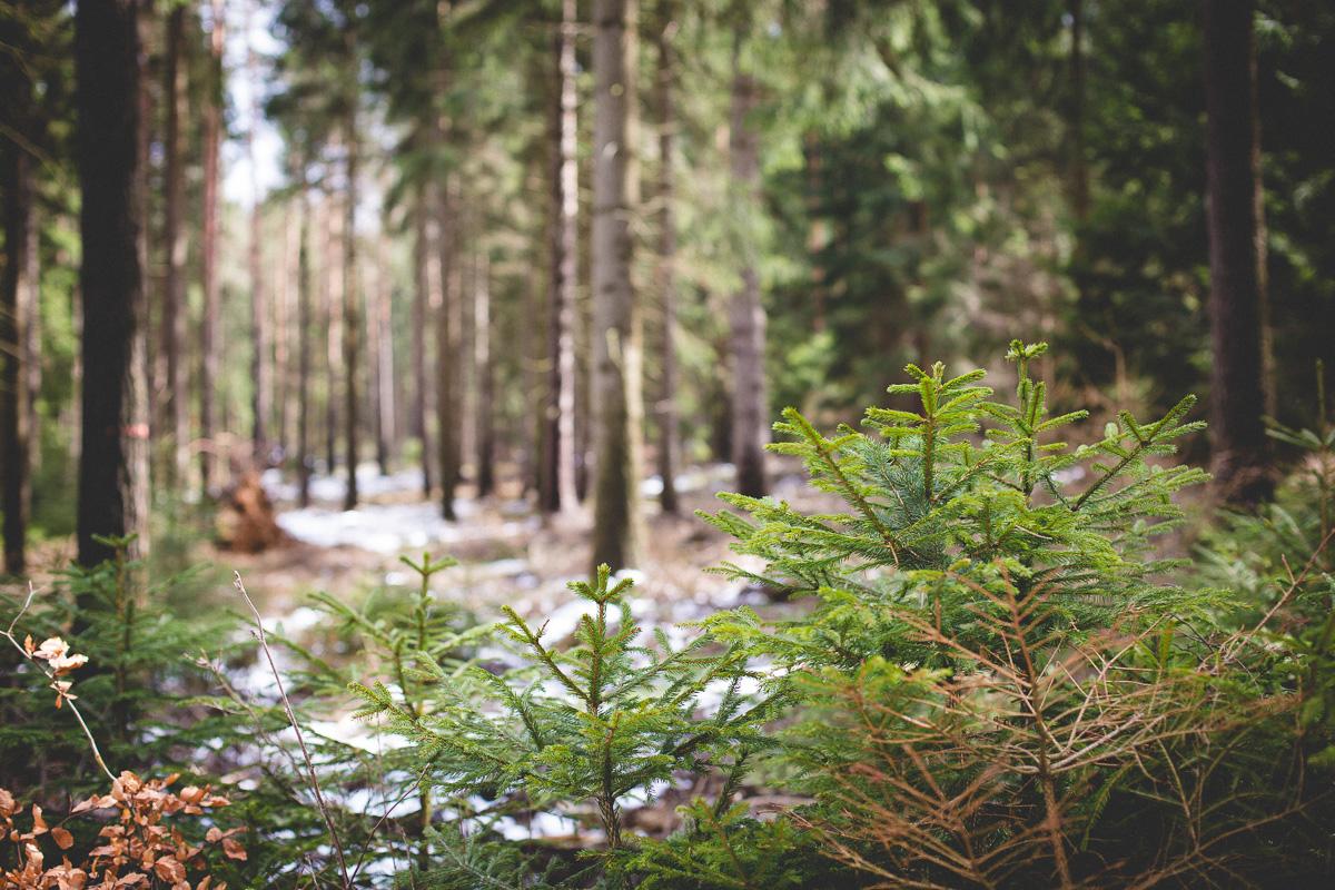 kleine Nadelbäume vor Schneeresten im Wald