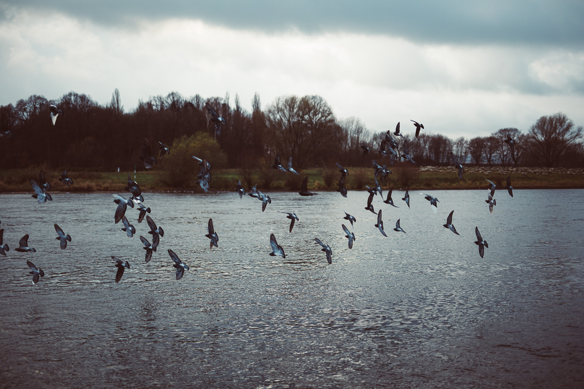 Vögel fliegen über die Elbe bei Dresden