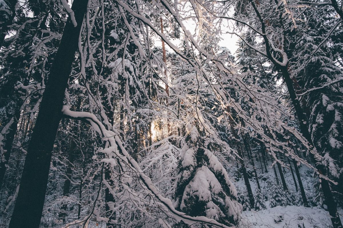 Zugeschneite Bäume in der Dresdener Heide