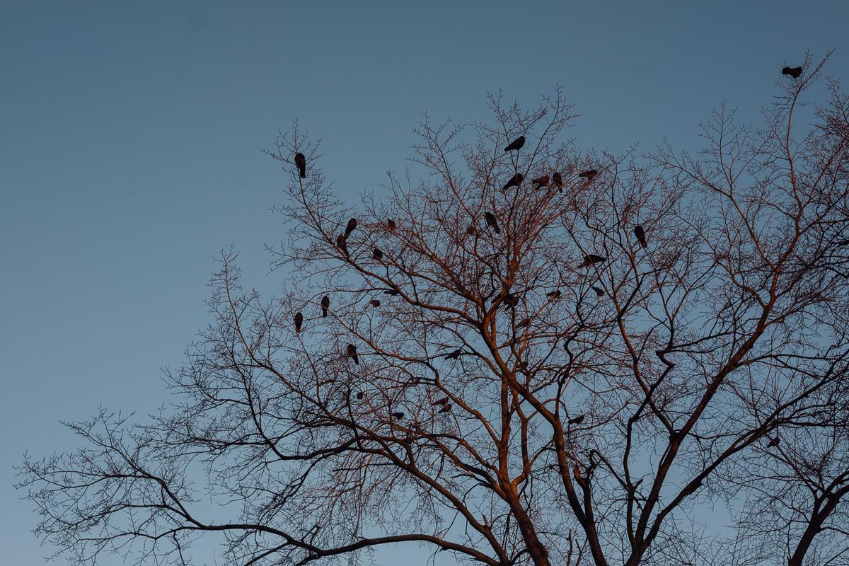 Raben sitzen zusammen auf einem Baum am Elberadweg in Dresden