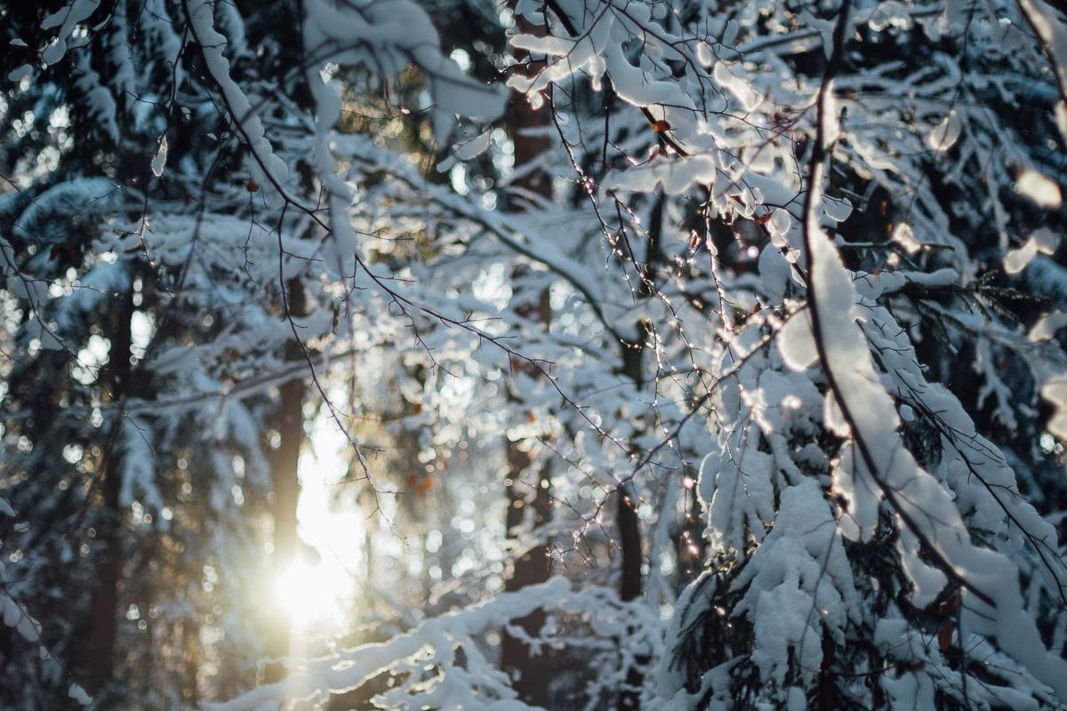 Schnee schmilzt im Sonnenlicht auf den Bäumen in der Dresdener Heide