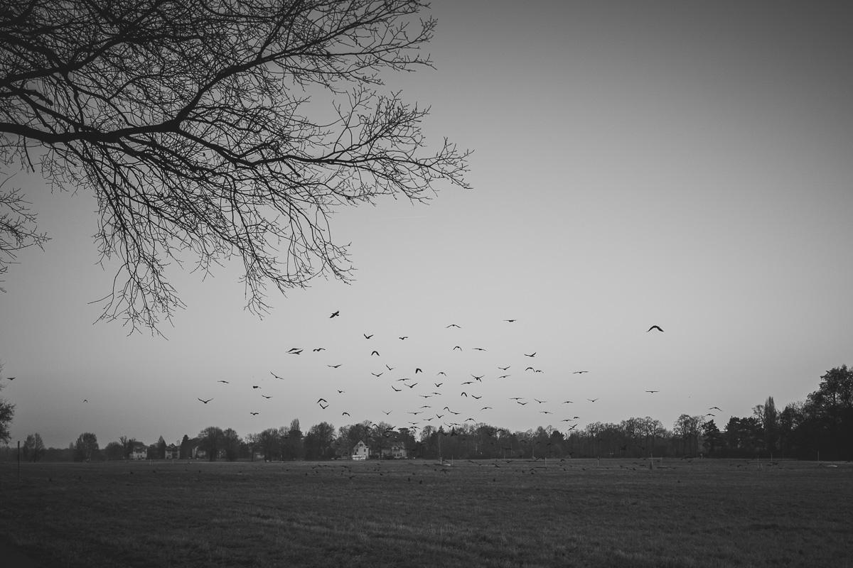 Raben fliegen über eine Wiese am Elberadweg Dresden