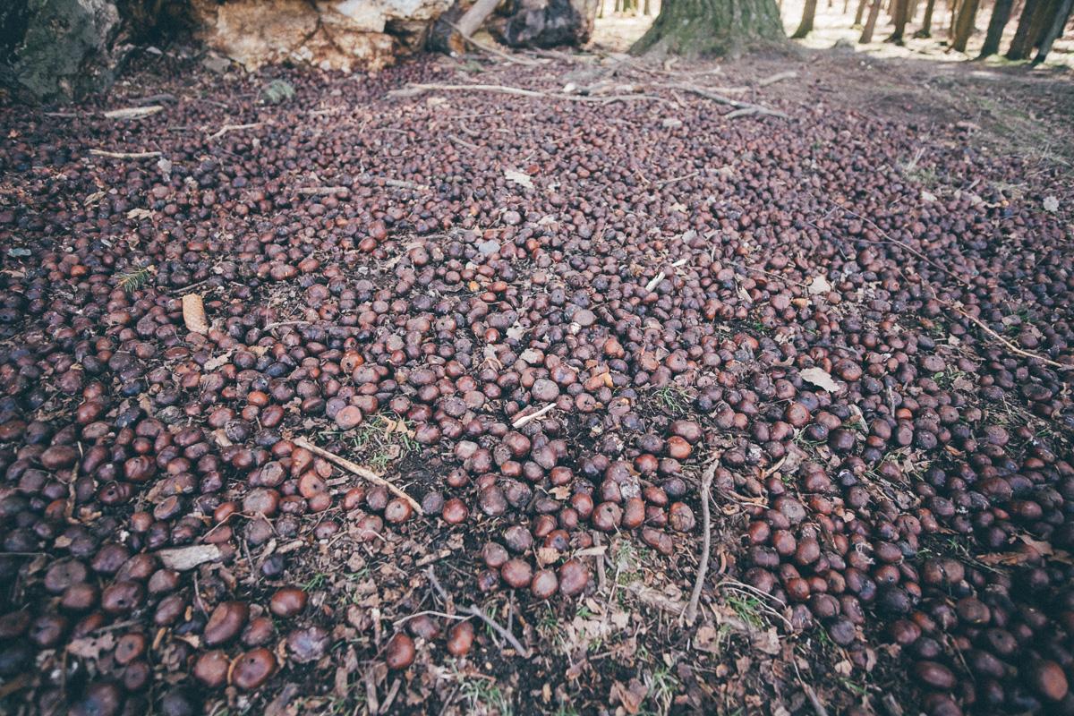 Kastanien liegen auf dem Waldboden