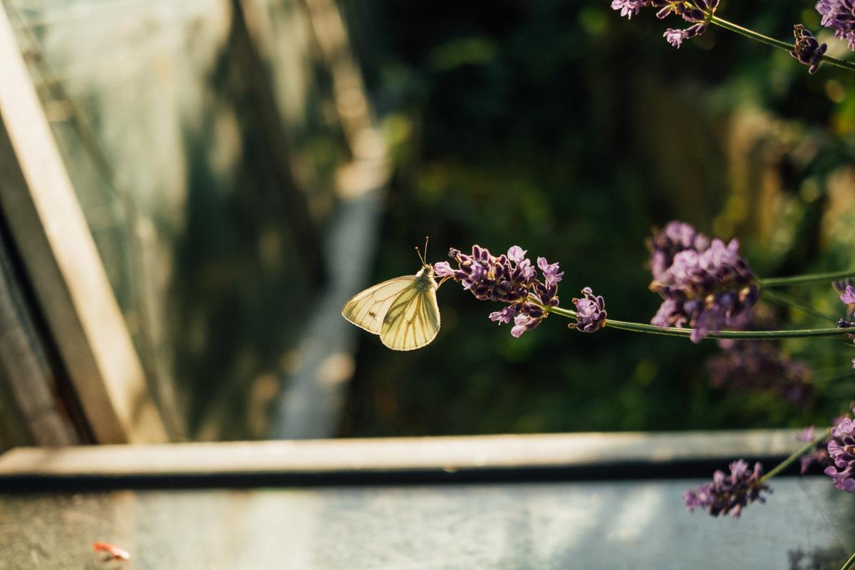 Ein Schmetterling hängt an einer Blüte