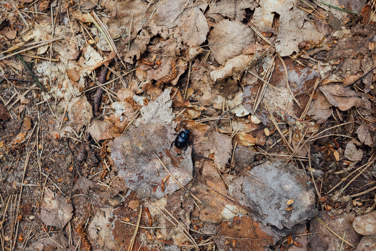 Ein Käfer kriecht über den Waldboden in der Nähe von Ossling