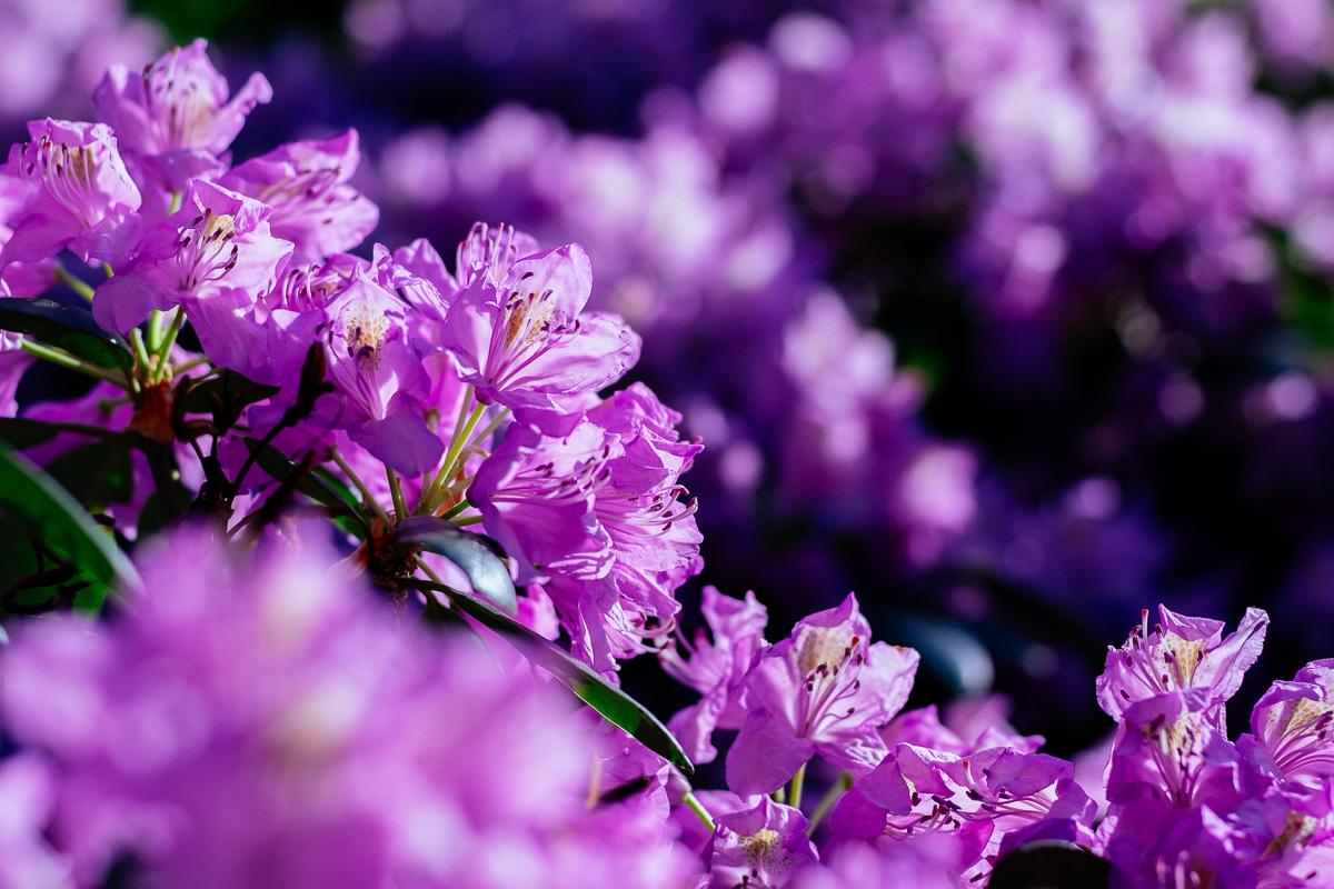 Violette Blüten im Ernst Seidel Park in Dresden Blasewitz