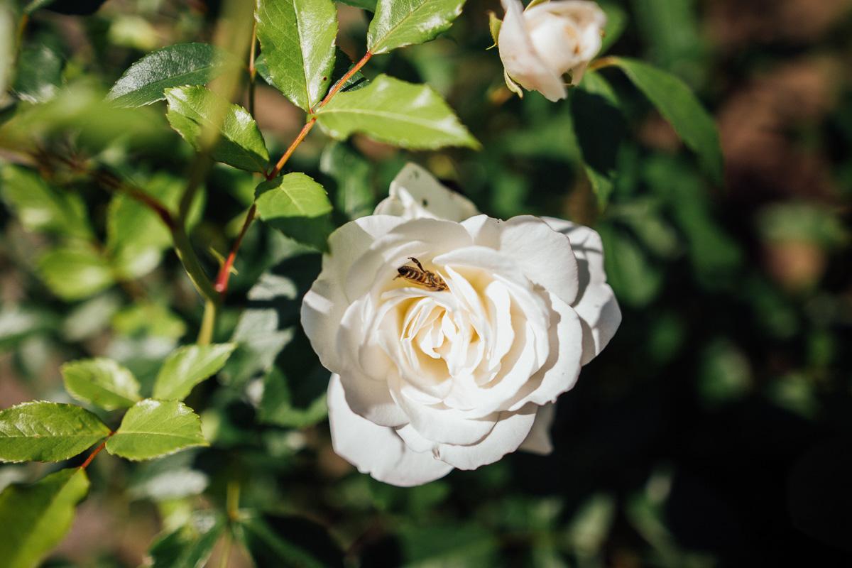 Eine Biene sitzt in einer Rosenblüte in einem Garten in Klingenberg