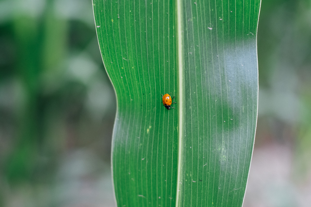 Ein Marienkäfer im Maislabyrinth Benndorf