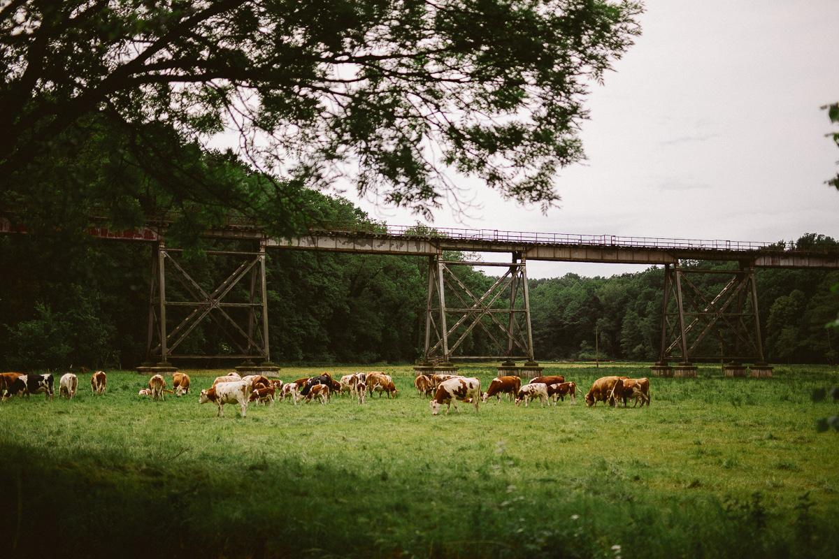 Kühe stehen auf einer Weide bei Lausnitz