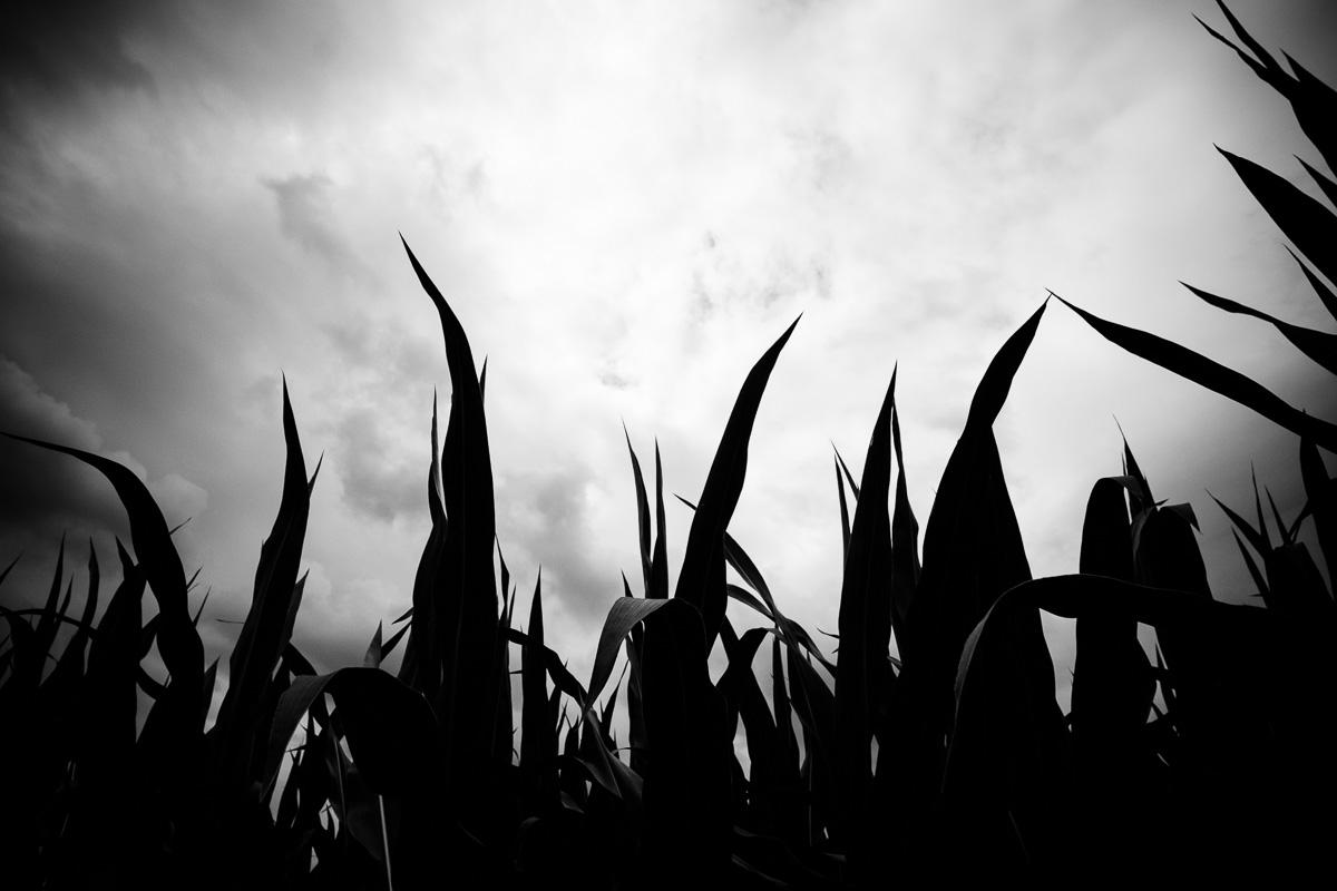 Maispflanzen vor dunklen Wolken